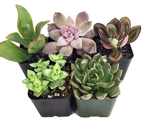 Instant Cactus/Succulent Collection - 5 Plants -Terrarium/Fairy Garden- 2' pots