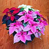 WANCHEN 100 Pcs/Bag Poinsettia DIY Potted Colorful Bonsai Flower Bonsai Indoor Outdoor Flower Flower Bonsai EDS Home Garden