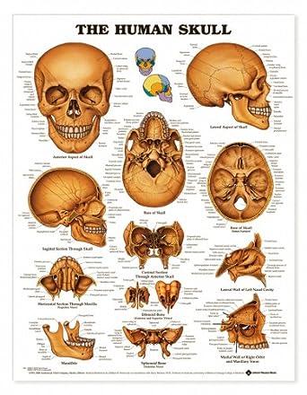 The Human Skull Anatomy Chart Science Prints Amazon