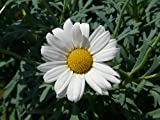 Home Comforts Laminated Poster Marguerite Tree Daisy Argyranthemum Frutescens Poster Print 24 x 36