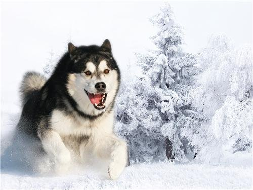 Home Comforts Peel-n-Stick Poster of Siberian Husky Dog Puppy Wolf Sled Cool Snow Vivid Imagery Poster 24 x 16 Adhesive Sticker Poster Print (Sled Snow Print)