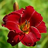 Red Daylily Bama Bound - 1 Healthy Bare Root Hemerocallis Plant - 2/3 fans- Ships from USA