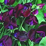 10 BLACK KNIGHT SWEET PEA Lathyrys Odoratus Flower Vine Seeds by Seedville