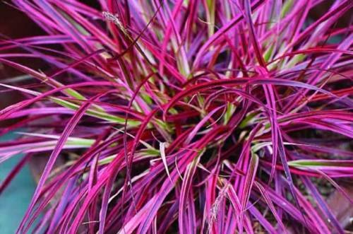 FIREWORKS Ornamental Grass Perennial Non-invasive Fountain Grass WOW!! LOT of 10