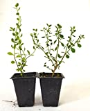 Baccharis pilularis 'Twin Peaks' Evergreen Ground Cover Plants 2 pack evergreen