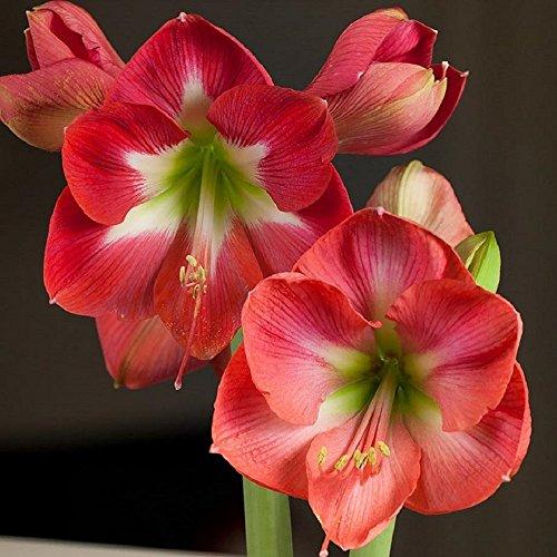 Rosy Pink Amaryllis Vera - 1 large bulb - 30/32 cm