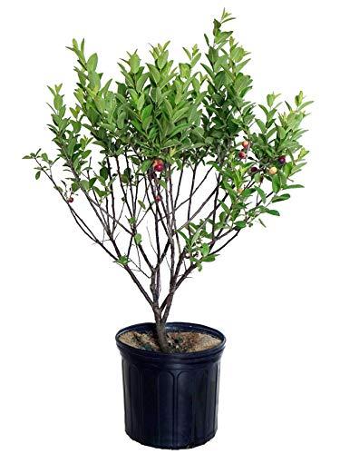 (Prunus maritima (Beach Plum) Shrub, #3 - Size Container )