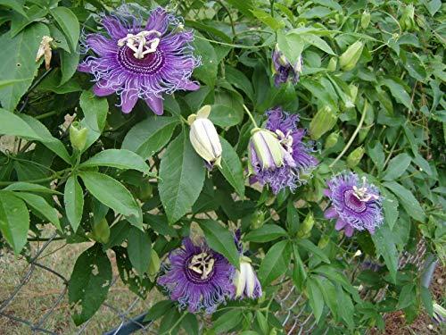 (Passiflora Incense Passion Flower 8 Seeds)