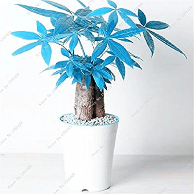 Recommend Blue Pachira Seed, Exotic Pachira Macrocarpa Money Tree Plant Bonsai Seed Perennial Tree 1 Pcs /Bag Purifying Air : Garden & Outdoor
