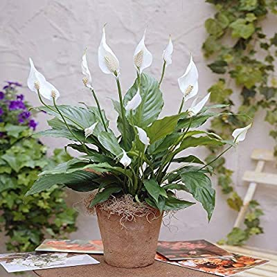 Spathiphyllum ChopinPeace Lily Indoor Houseplant Air purifying
