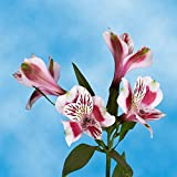 GlobalRose 240 Blooms of Bi-Color Select Alstroemerias 60 Stems - Peruvian Lily Fresh Flowers for Delivery