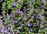 "Nepeta x faassenii 'Walker's Low' Walker's Low Catmint has fragrant leaves and is covered in sprays of 6"" tall, Set of 12 plants shipped in Classic Pint size"