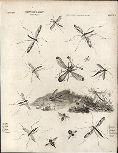 entomology-flies-mosquitoes-bovis-image-c-1812-fine-antique-engraved-print