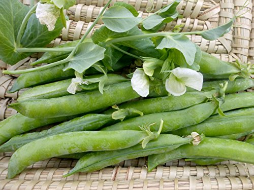 English Pea - David's Garden Seeds Pea Green Arrow SL2040 (Green) 100 Non-GMO, Organic, Heirloom Seeds