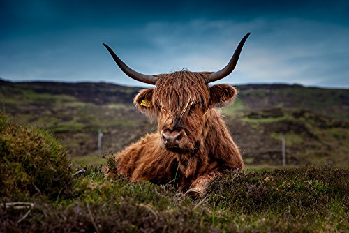 - Beef Scotland Highland Beef Cow Ox Meadow - Art Print On Canvas Rolled Wall Poster Print - 24