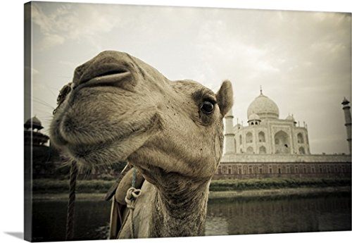 David DuChemin Premium Thick-Wrap Canvas Wall Art Print entitled Camel In Front Of The Yamuna River And Taj Mahal, Agra, India by Canvas on Demand (Image #4)