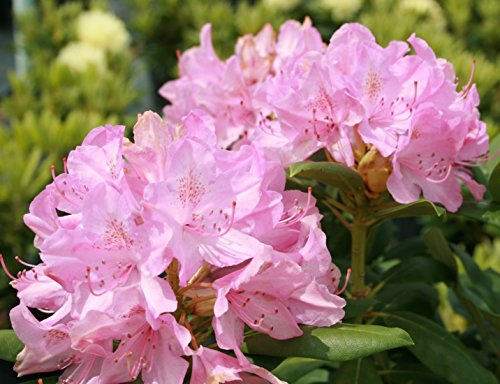 roseum-pink-rhododendron-live-plant-quart-pot