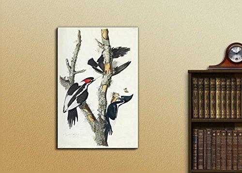 Beautiful Illustration of an Ivory Billed Woodpecker by John James Audubon