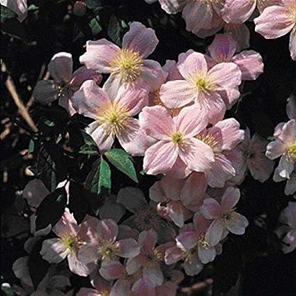 40pcs Arbres et arbustes Fleurs et Plantes Grain/é fleur jardin Plantes vivaces r/ésistante au froid Cl/ématite Piilu//Super Nova Risitar Graines Plante grimpante