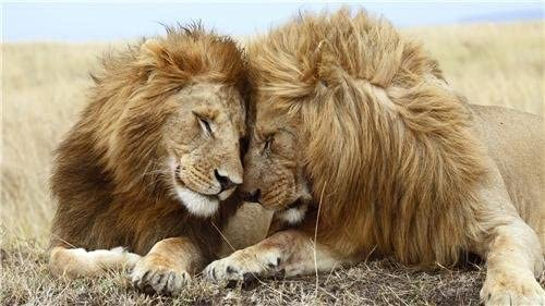 BEAUTIFUL LIONS GLOSSY POSTER PICTURE PHOTO jungle animals pride king animal 116