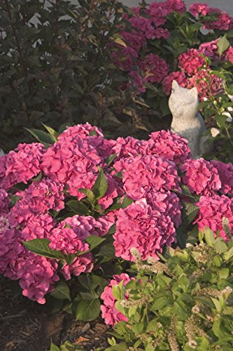 1 Gal. Cityline Venice Bigleaf Hydrangea (Macrophylla) Live Shrub, Pink, Blue and Green Flowers by Proven Winners (Image #8)