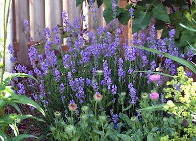 Provence Lavender - Provence French Lavender - Very Fragrant - Live Plant - Quart Pot