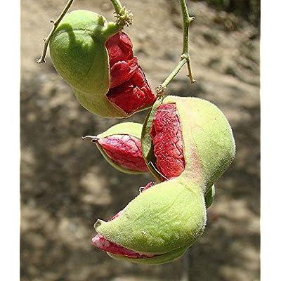 Red Guamuchil 50 Seeds Pithecellobium dulce Tree Madras Thorn Manila tamarind : Garden & Outdoor