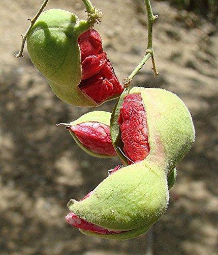 Red Guamuchil 50 Seeds Pithecellobium Dulce Tree Madras Thorn Manila Tamarind (As Tamarind Fruit compare prices)