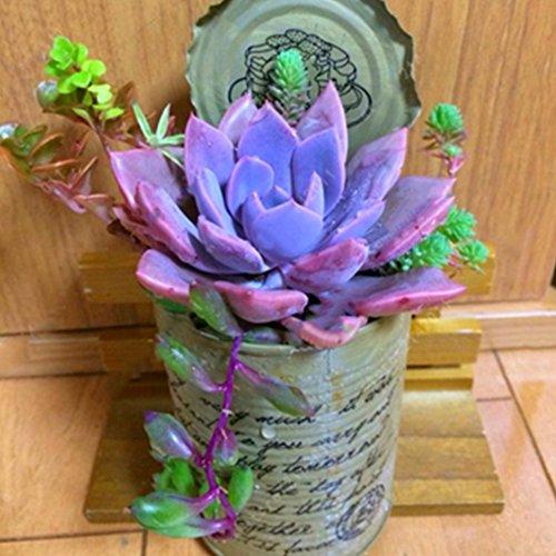 200 Pcs Succulent Seeds, Multi Color Potted Bonsai Mini Desktop Plant Home Garden Decor(Red)(Rose Red)(Blue)(Colorful)(Purple)