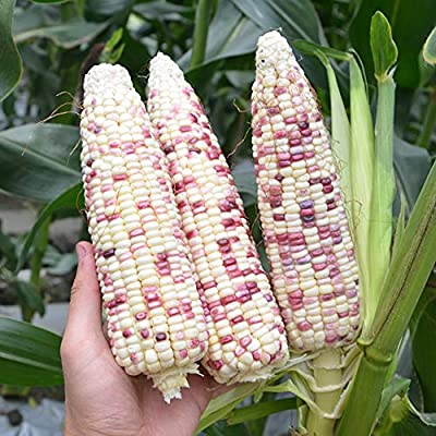 Color Waxy Corn Seeds for Yard Gardening Plant Delicious Corn 30g/Pack : Garden & Outdoor