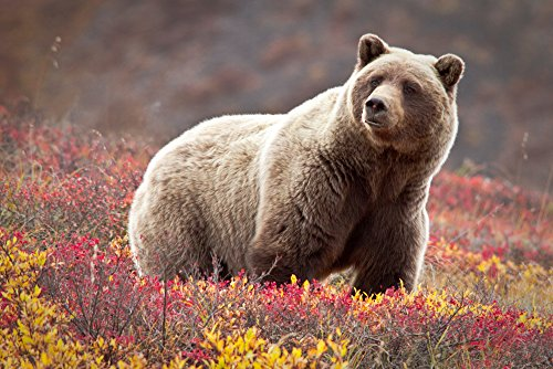 Grizzly Bear and Flowers (16x24 Collectible Giclee Gallery Print, Wall Decor Travel Poster)
