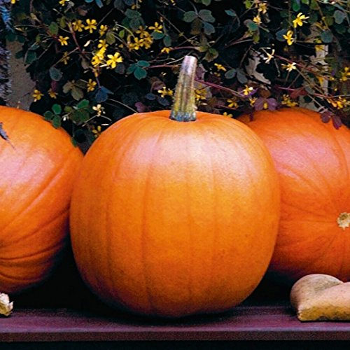 David's Garden Seeds Pumpkin Jack O'Lantern SV9831LK (Orange) 50 Heirloom Seeds