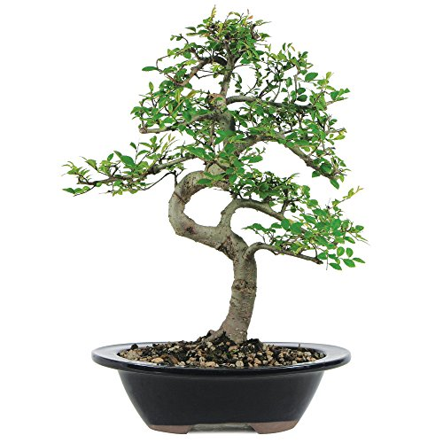 Brussels-Chinese-Elm-Bonsai