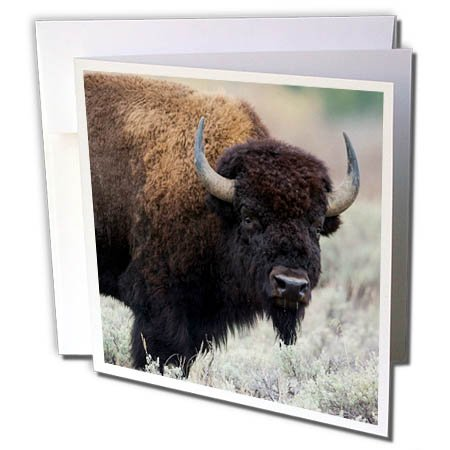 3dRose Greeting Card American Bison Bull Grand Tetons National Park, Wyoming, USA, Wild, 6 x 6