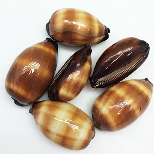 - PEPPERLONELY 6PC Polished Chocolate Banded Cowry Sea Shells, 2 Inch ~ 2-1/2 Inch