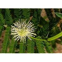 Asklepios-seeds® - 500 Semillas de Desmanthus illinoensis Desmanthus, adormidera
