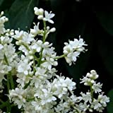 Japanese Tree Lilac Seeds ( Syringa reticulata) (20)