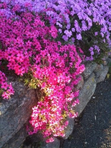 Creeping Phlox Mix Color Plant 1-live Cutting Plant Perennial Ground Cover Plant