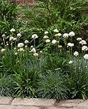 Armeria pseudarmeria Ballerina White 250 seeds