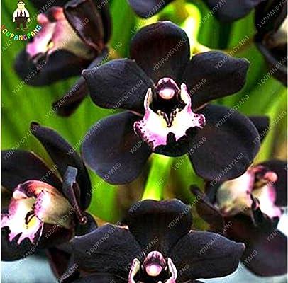 100 PC / Plantas bolsa de semillas Único Negro Cymbidium Faberi de flores jardín de flores Orquídea Semillas fácil de cultivar semillas de Bonsai: Amazon.es: Jardín