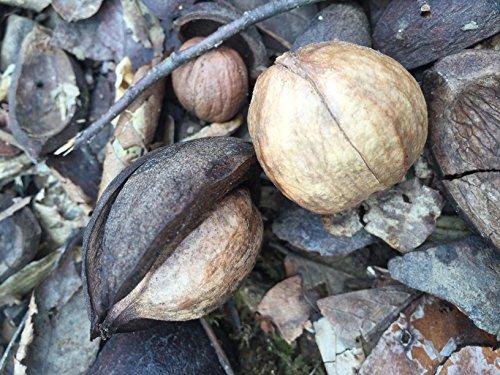 Shellbark Hickory Nut - 1