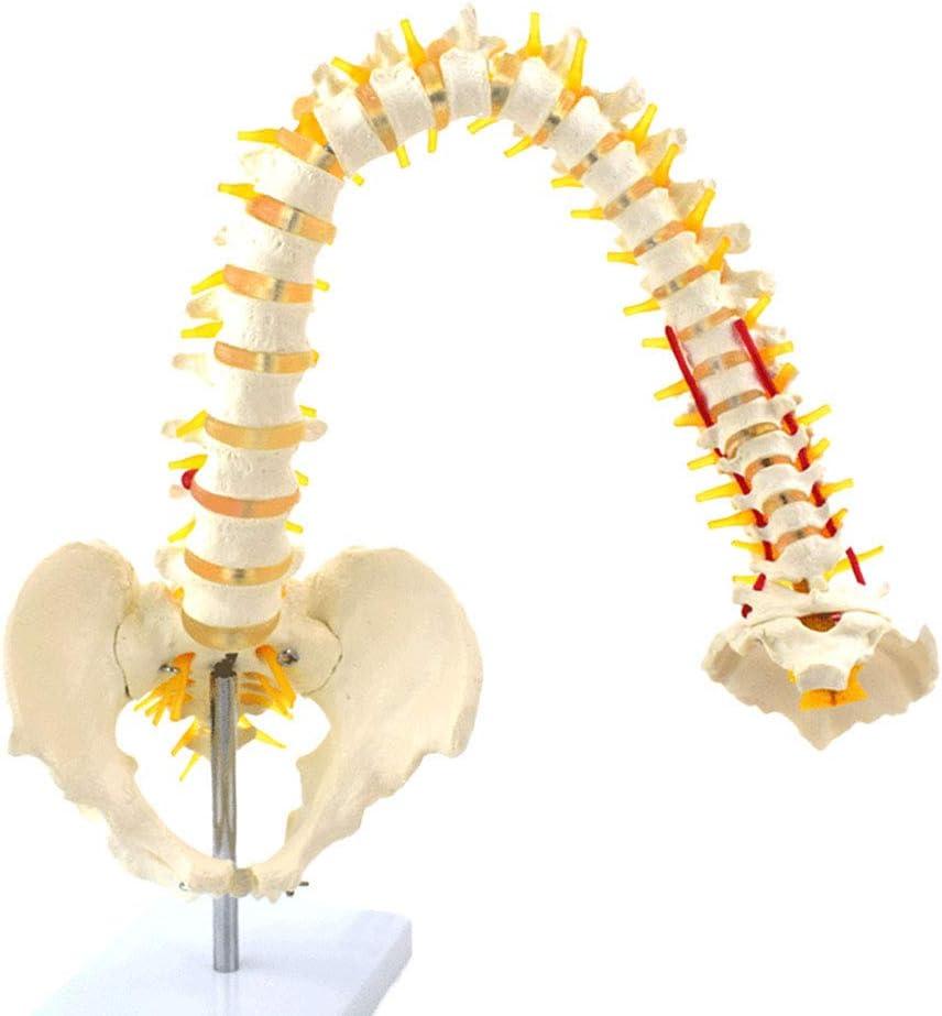 Modelo de Columna Humana Flexible, PVC Raíz del Nervio Espinal y Arteria Carótida Cervical