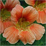 Package of 110 Seeds, Vesuvius Nasturtium (Tropaeolum majus) Non-GMO Seeds By Seed Needs