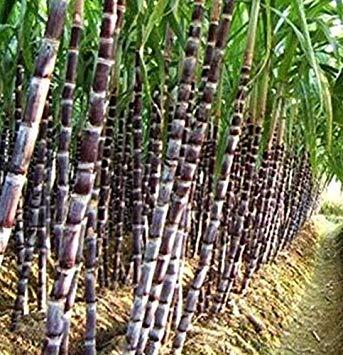 (FD3516 Black Sugar-cane Seeds Rum Syrup Sweet Rock Candy Sugar Crystals 50 Seeds)