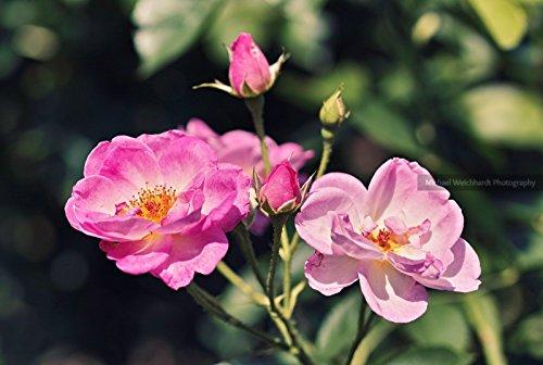 Amazoncom Pink Roses Paper Print Rose Garden