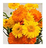 David's Garden Seeds Herb Calendula Princess Mix SL1904A (Yellow) 100 Non-GMO, Open Pollinated Seeds