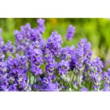 Blue Cushion French Lavender - Very Fragrant/Compact - Quart Pot, Indoors/Out
