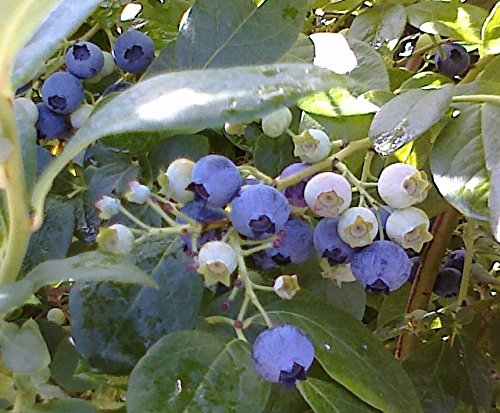 3 Packets Of Variety Blueberry Seeds Heirloom Mix, Rabbiteye, and Jersey