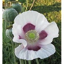 250+ Tasmanian Purple Poppy Seeds /
