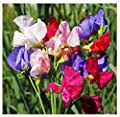 Mammoth Sweet Pea Mixed Seeds - Approximately 65 Seeds